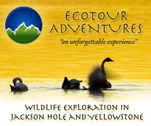 EcoTour Adventures - Jackson Hole Wildlife Tours Jackson Hole Eco Tour Adventures offers a variety of wildlife viewing in the Jackson Hole, Grand Teton, and Yellowstone Ecosystems. Eco Tour Adventures focuses on creating a sustainable touring business to help protect the wild nature of our environment.