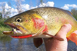 Fish The Fly Guide Service :: Experienced guide service on the Firehole, Madison, Gibbon Rivers, & Lewis & Shoshone Lakes, plus backcountry secrets! Fly or spin fishing, gear  