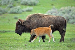 Experience Yellowstone Guided Tours :: Small group, day-long tours are lead by one of the top 100 wildlife photographers in the US. Educational tours include binoculars, spotting scope & service from Cody, WY.