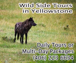 Wild Side Wildlife Tours : The Wild Side provides expert naturalist guides to observe wolves, bears, moose, bighorn sheep, bison, birds of prey and more. Select from day trips or multi-day packages.