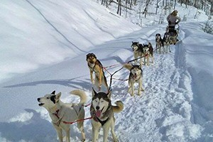 Absaroka Dog Sled Treks at Chico Hot Springs :: Just 30 minutes north of the Gardiner entrance to Yellowstone, select from our Tenderfoot, Half-Day and Full-Day treks. All ages love our dogs. Book prime winter days now.