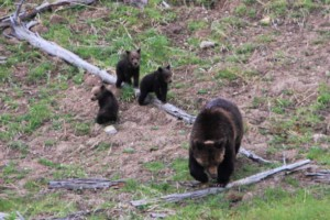 In our Nature - Park Tours all Year Round :: Specialists in finding and helping you watch and photograph Yellowstone's fascinating wildlife, along with 1/2 or full-day hikes. Winter tours in warm SUV, lots to see.