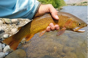 Catch the biggest cutthroats with our advice