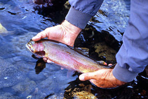 Catch the Beautiful Yellowstone Cutthroat