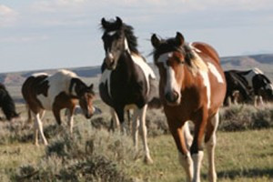 Cody Wyoming Adventures: Tours :: View wild mustangs, explore an old ghost town in Kirwin, WY, or view wildlife in Yellowstone on one of the incredible and unique tours offered by this local adventure company!