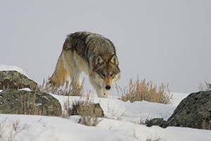 Wolf Tracker Tours & Treks - winter packages :: The Wild Side provides expert naturalist guides to observe wolves, bears, moose, bighorn sheep, bison, birds of prey and more. Select from day trips or multi-day packages.