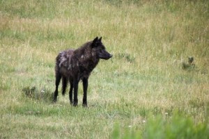 Wild Side Wildlife Tours in Yellowstone Park