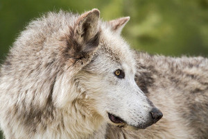Yellowstone Wildlife and Wolf Safaris