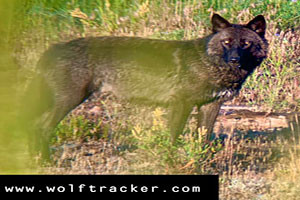 Yellowstone Wolf Tracker - see the Park's wildlife
