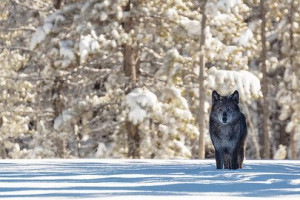 Yellowstone Wolf Tracker - winter tour packages