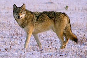 Yellowstone Wolf Tracker - Guided Park Tours
