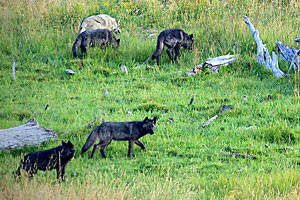 Yellowstone Wolf Tracker - Park Wolf Tours