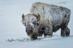 Grand Teton & Yellowstone Safaris - Winter 2020