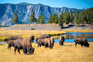 Yellowstone & Grand Teton Package Tours & Trips
