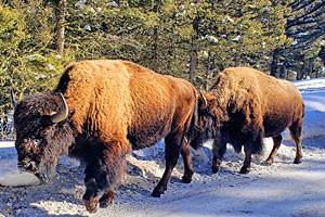 Roam Yellowstone Guiding - winter wildlife tours