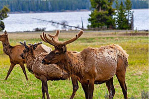 Yellowstone Scenic Tours | Best Park Wildlife
