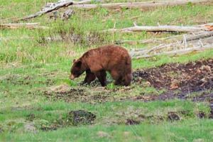 Roam Yellowstone - Guided Lamar Trips