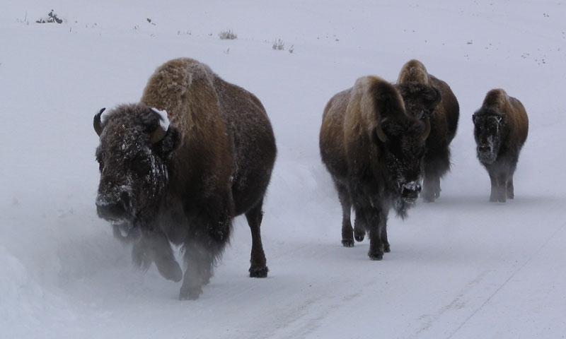 Yellowstone Wildlife Tour