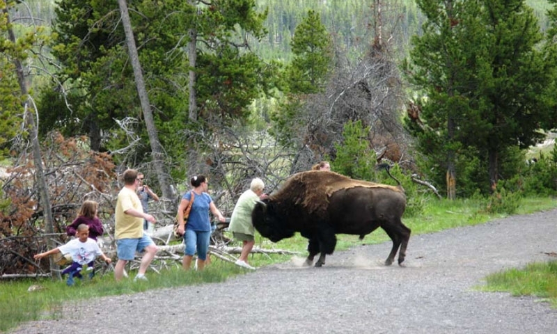 Bison Charges Visitor in Yellowstone