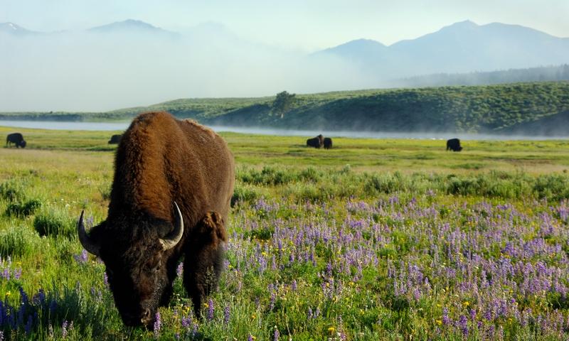 Bison Buffalo Wildlife Yellowstone National Park Lamar Valley Wyoming
