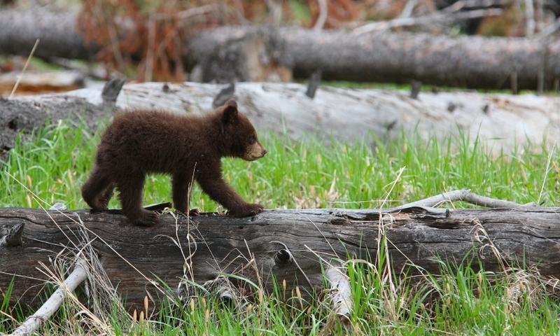 Bear Cub Grizzly Wildlife