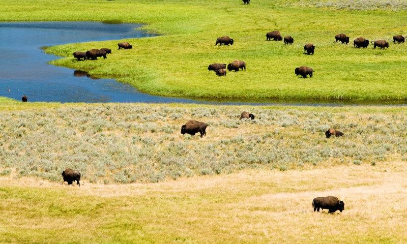 Bison Buffalo Wildlife Yellowstone