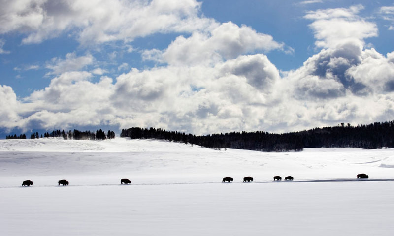 Bison Buffalo Wildlife Yellowstone Winter