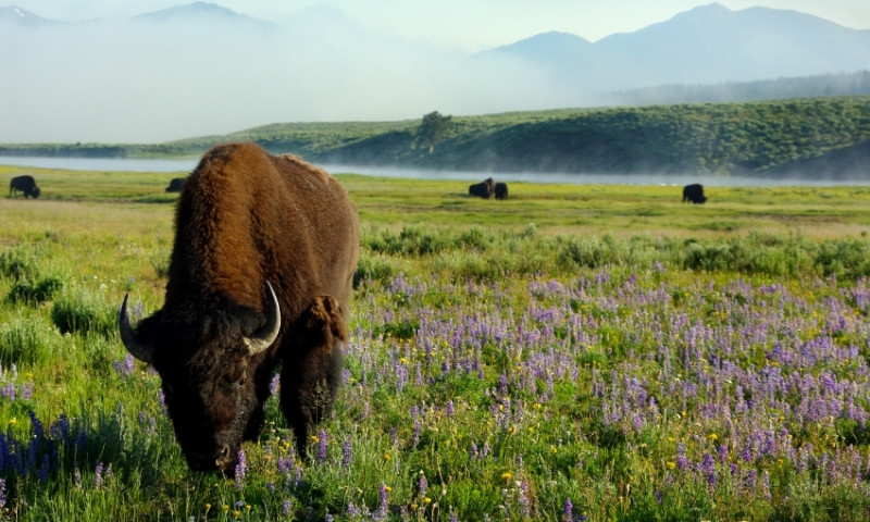 Yellowstone National Park Summer Wildlife Viewing Alltrips