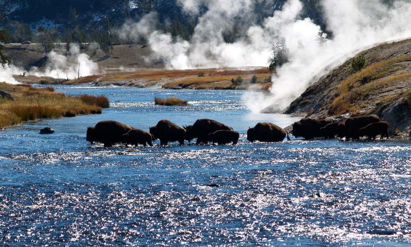 Yellowstone River Yellowstone Bison Buffalo Wildlife Firehole River