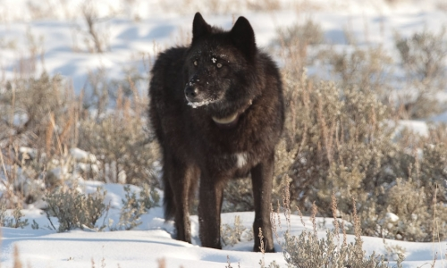 Yellowstone National Park Wolves, Pictures, Viewing & Information ...