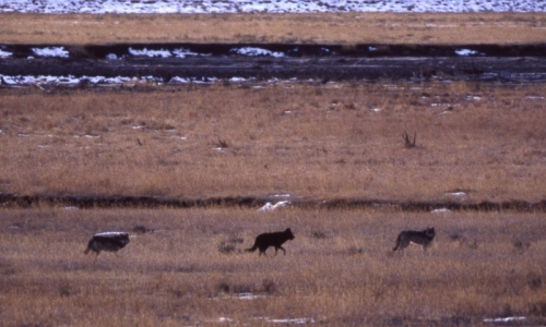 Yellowstone Gray Wolves