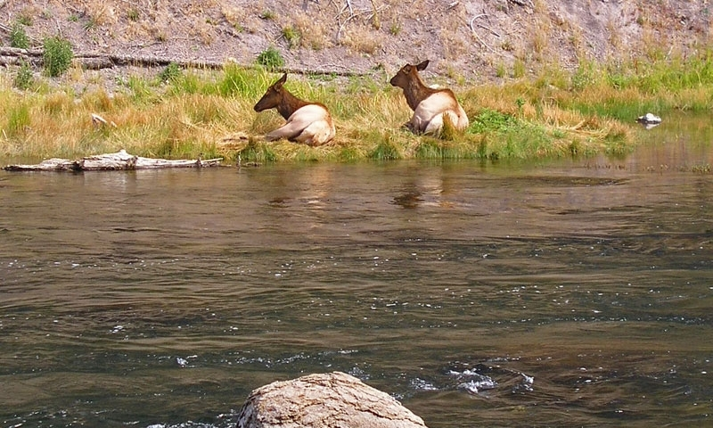 Elk resting along the Madison River in Yellowstone National Park
