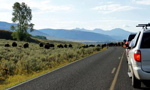 Bison blocking traffic in Lamar Valley