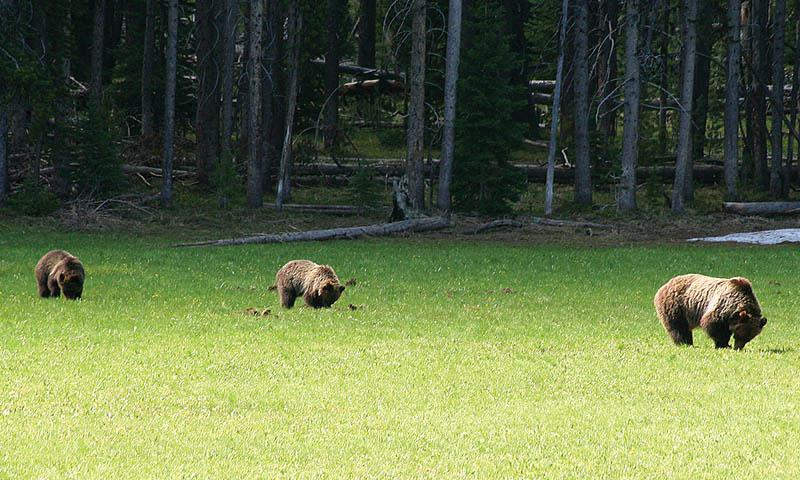 Bears along Heart Lake Trail in Yellowstone National Park