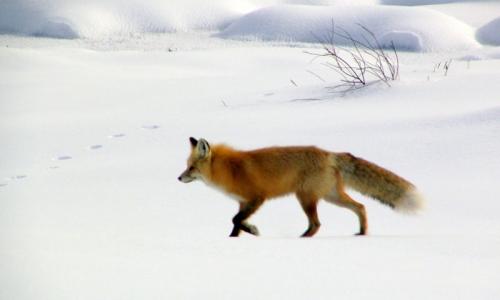 Yellowstone National Park Winter Snow Wildlife Tour
