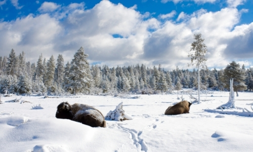 Bison Buffalo Yellowstone National Park Wyoming Winter Snow