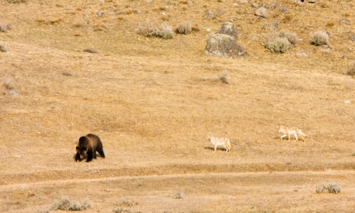 Grizzly Bear Wildlife Lamar Valley