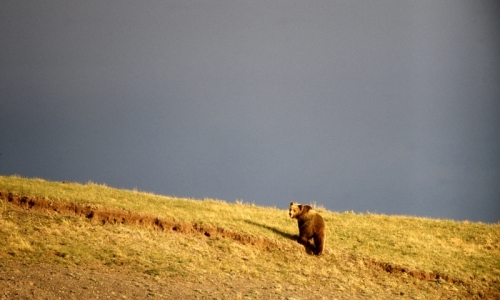 Grizzly Bear Wildlife
