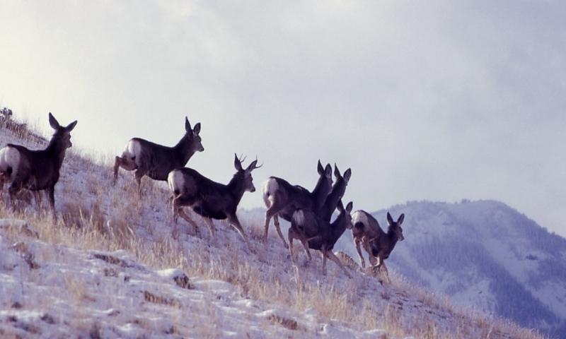 Yellowstone Mule Deer Hunting