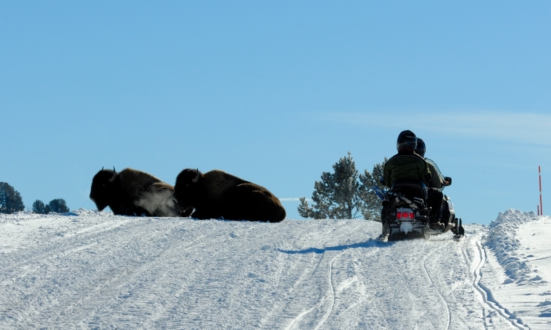 Snowmobiling Tour Yellowstone National Park Bison Wildlife